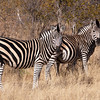 "<span id=""title"">Zebras +1?</span> <em>Balule Game Reserve</em> Is there another little one on the way? From the looks of that second zebra, yes, pretty soon."