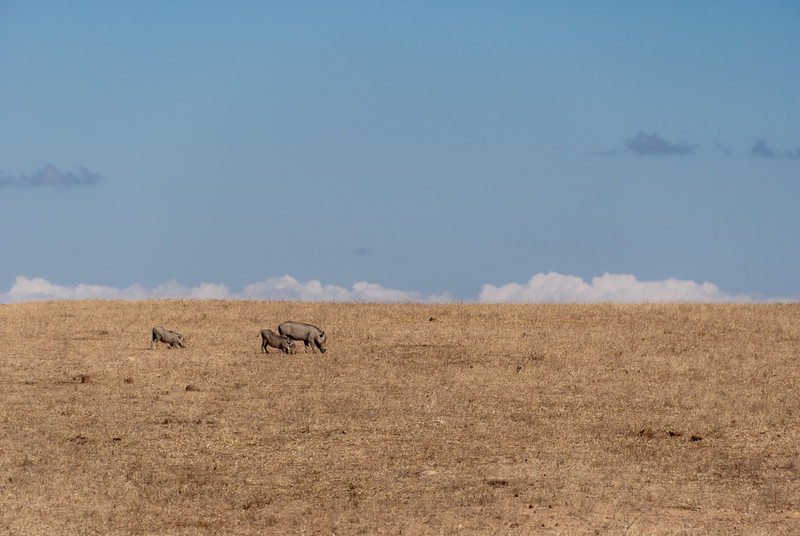"""<span id=""""title"""">Warthogs</span> <em>Balule Game Reserve</em> They're so funny... the two little ones are down on their elbows (?) to forage. It's what they do..."""