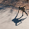 "<span id=""title"">Running Baboon</span> <em>Kruger National Park</em> As we slowly drove through the baboon family, they started to get spread out as some ran in front of the vehicle. After a while, those in the back started running to catch up."