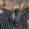"<span id=""title"">Zebra Trio</span> <em>Kruger National Park</em> I can really understand how the stripes confuse predators."