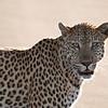"<span id=""title"">Leopard</span> <em>Kruger National Park</em> The leopard paused in the road to check out the vehicles, but didn't really seem to care."