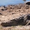 "<span id=""title"">Lounging</span> <em>Balule Game Reserve</em> We saw this same croc earlier in the day during the bush walk, but it was a bit more exciting in the afternoon. Mostly, because we got out of the vehicle and walked right up to it. Seriously! It was awesome."
