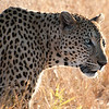 "<span id=""title"">Leopard</span> <em>Kruger National Park</em> In case you're not sure, let me be clear - this was the coolest thing we saw. First of all, leopards are rare to see, and we saw two! Even more so, this one didn't seem to mind the vehicles and just walked along in a completely relaxed way. It was amazing."