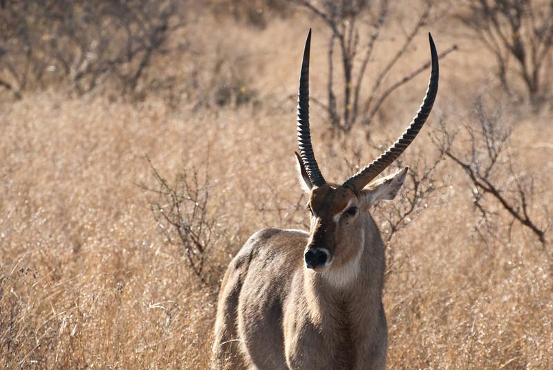 """<span id=""""title"""">Waterbuck</span> <em>Kruger National Park</em> Nice horns."""