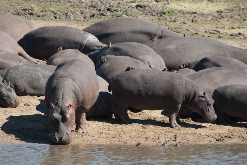 """<span id=""""title"""">Hippos</span> <em>Kruger National Park</em> This photo was taken from a nice overlook on the opposite bank of the river. Pretty sure that's about as close to hippos as I want to get."""