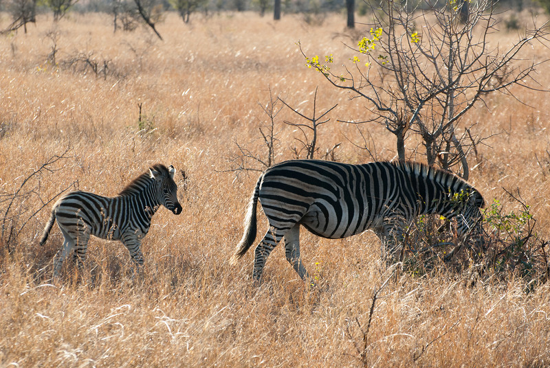 "<span id=""title"">Mom and Baby</span> <em>Kruger National Park</em> It was fun to see this baby zebra run across the road and through the brush to catch up with its mom."