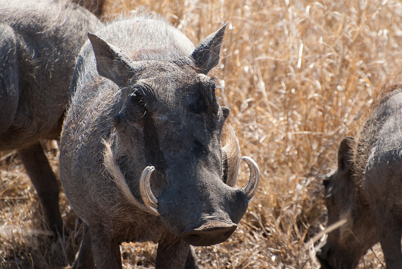 "<span id=""title"">Warthog</span> <em>Kruger National Park</em> Admit it, you find this sexy."