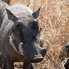 "<span id=""title"">Warthog</span> <em>Kruger National Park</em> Admit it, you find this sexy."