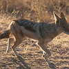 "<span id=""title"">Jackal</span> <em>Kruger National Park</em> A small jackal running along the road right around sunset."