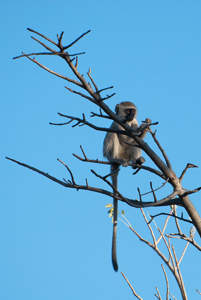"<span id=""title"">Long Tail</span> <em>Tremisana Game Lodge</em> Typical monkey, hanging out in a tree."