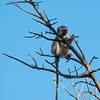 """<span id=""""title"""">Long Tail</span> <em>Tremisana Game Lodge</em> Typical monkey, hanging out in a tree."""