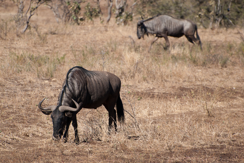 """<span id=""""title"""">Wildebeests</span> <em>Kruger National Park</em> Thanks to The Lion King and countless nature shows, I associate wildebeests with massive migrating herds and deadly stampedes. Apparently that doesn't happen in Kruger and you see them scattered about, often with other animals in small herds."""