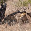 """<span id=""""title"""">Lion</span> <em>Kruger National Park</em> Surveying his domain? Sure... actually he's just looking over to see where his brother/friend went, which was about 5 feet away."""