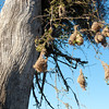 "<span id=""title"">Bird Nests</span> <em>Balule Game Reserve, Bush Walk</em> Cool weaver nests hanging from a very large tree."
