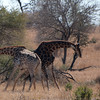 "<span id=""title"">Giraffe Fight 1</span> <em>Kruger National Park</em> This was the first really cool thing we saw in Kruger (and not the last, nor the coolest). It's two giraffes fighting!"