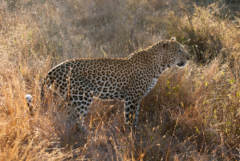 """<span id=""""title"""">Leopard</span> <em>Kruger National Park</em> I wanted to make sure I included a full-body shot of this big cat. Their coats are just stunning."""