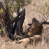 """<span id=""""title"""">Lion Yawn</span> <em>Kruger National Park</em> Is there anything cooler that seeing a big cat yawn? Probably, but not much."""