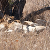 "<span id=""title"">Who's There?</span> <em>Kruger National Park</em> Two male lions sleeping/cuddling/spooning under a small tree. The laid there for most of the time, but I like how this one looks like we disturbed it from it's sleep. Not that I blame it, we did."