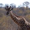 "<span id=""title"">Giraffe</span> <em>Balule Game Reserve</em> As we left the game walk we came across a handful (maybe 4?) of giraffes."