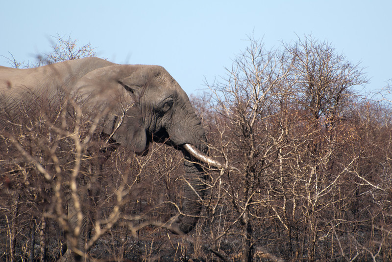 """<span id=""""title"""">Elephants Eat Anything</span> <em>Kruger National Park</em> It was neat to see this elephant so close to the road, but we wondered what on earth it was eating, as the area had recently burned. Our guide told us that elephants eat anything, including sticks and branches that no other animal would consider food. This is one reason they are essential to the ecosystem."""