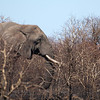 "<span id=""title"">Elephants Eat Anything</span> <em>Kruger National Park</em> It was neat to see this elephant so close to the road, but we wondered what on earth it was eating, as the area had recently burned. Our guide told us that elephants eat anything, including sticks and branches that no other animal would consider food. This is one reason they are essential to the ecosystem."