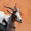 """<span id=""""title"""">Future Dinner</span> After you bid for some clothing, why not pick up a goat?"""