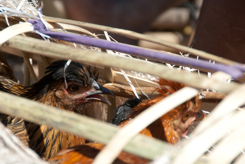 """<span id=""""title"""">Cooped</span> In addition to goats, chickens were also available. They were held in these homemade bamboo cages."""