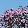 "<span id=""title"">Blooming Tree</span> A beautiful flowering tree - I didn't see another one like it anywhere in the city."