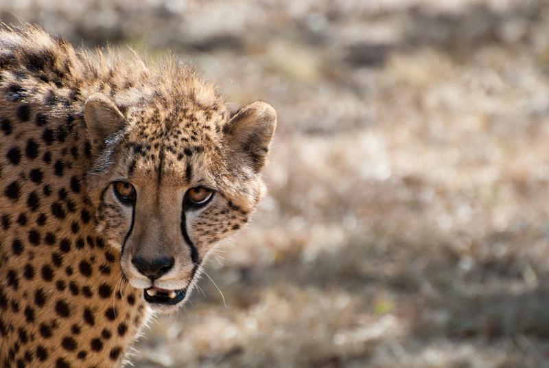 "<span id=""title"">Cheetah Eyes 2</span> <em>Ann van Dyk Cheetah Centre</em> Caption"