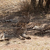 "<span id=""title"">Lazy Cheetahs</span> <em>Ann van Dyk Cheetah Centre</em> Caption"