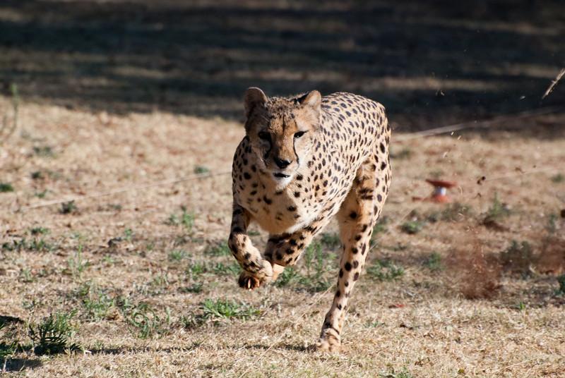 """<span id=""""title"""">Cheetah Run 5</span> <em>Ann van Dyk Cheetah Centre</em> Ok, so this running cheetah has kind of a strange look, but it's in focus! Very few of my cheetah shots had good focus, it's pretty hard."""