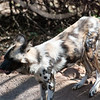 "<span id=""title"">Drinking</span> <em>Ann van Dyk Cheetah Centre</em> What better way to finish off breakfast than with a cool drink of water? I mainly included this shot to show the dogs' coat - I find it very pretty."