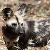 "<span id=""title"">Old Dog</span> <em>Ann van Dyk Cheetah Centre</em> Our guide told us a lot about the pack structure of the African wild dog. Most interestingly, they never kick anyone out - if you were born in to the family, you can stay forever. The pack size needs to stay small though, because the hunting group will feed everyone else before they eat themselves. So, once the pack gets too big, the hunters won't get to eat as much, which means they aren't as good at hunting and then everyone starts to go hungry. At that point, some of the pack will voluntarily leave and start their own."