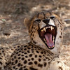 "<span id=""title"">Yawn 1</span> <em>Ann van Dyk Cheetah Centre</em> Caption"