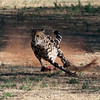"<span id=""title"">Cheetah Run 2</span> <em>Ann van Dyk Cheetah Centre</em> The cheetahs were chasing a ball on a string that was wrapped around a bunch of pulleys in the ground. The string was hooked up to a big motor, so when they turned it on, the ball raced around the 'track'."
