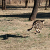 "<span id=""title"">Cheetah Run 1</span> <em>Ann van Dyk Cheetah Centre</em> We ended our trip with an awesome visit to the Ann van Dyk Cheetah Centre, about an hour outside of Pretoria. One of the first things we got to see was three of their cheetahs run! Given that they are the fastest land animal, it was hard to get good photos of this. It was pretty amazing to see though."