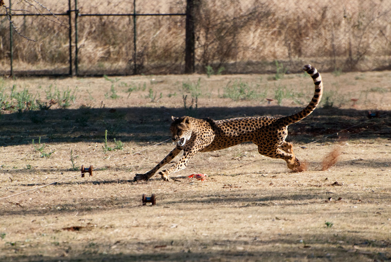 """<span id=""""title"""">Cheetah Run 4</span> <em>Ann van Dyk Cheetah Centre</em> Apparently cheetahs use their tails like a 5th leg to make incredibly sharp turns at top speed. Also, their claws don't retract. Also, they're awesome."""