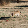 "<span id=""title"">Cheetah Run 3</span> <em>Ann van Dyk Cheetah Centre</em> The humans all got to stand in a little pen on the side, just past the start of the 'course' so we actually got to see the cats run right past us. They're not huge animals, but they sounded like horses - there's a lot of power there."