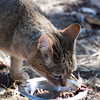 "<span id=""title"">African Wild Cat</span> <em>Ann van Dyk Cheetah Centre</em> Looks like a housecat, but it's actually a wild animal. All animals at the Ann van Dyk Cheetah Centre are there for a reason - this one's here because it's threatened by breeding with domestic or feral housecats."
