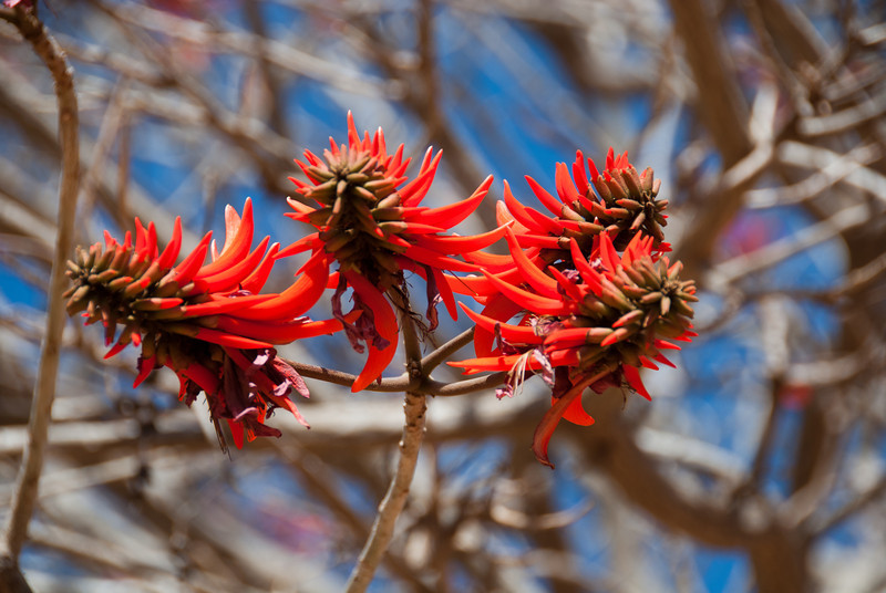"<span id=""title"">Coral Tree Blossoms</span> <em>Ann van Dyk Cheetah Centre</em> We have trees like this in Southern California, so it was neat to see them in their native habitat."