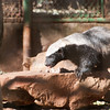 "<span id=""title"">Honey Badger</span> <em>Ann van Dyk Cheetah Centre</em> <a href=""http://www.youtube.com/watch?v=4r7wHMg5Yjg"">The honey badger really doesn't give a s**t.</a> Seriously, though - our guide said that the staff will go into any cage with the animals (including cheetahs, hyenas and caracal) except for this one."