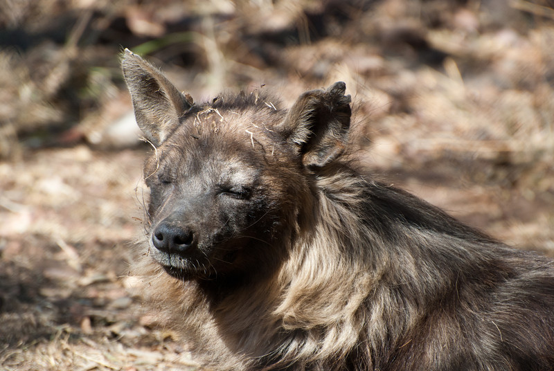 """<span id=""""title"""">Sleepy</span> <em>Ann van Dyk Cheetah Centre</em> This brown hyena sat up for us, but never opened its eyes. They are nocturnal, of course, so we weren't offended. I love the grass all over its head."""