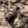 "<span id=""title"">Sleepy</span> <em>Ann van Dyk Cheetah Centre</em> This brown hyena sat up for us, but never opened its eyes. They are nocturnal, of course, so we weren't offended. I love the grass all over its head."