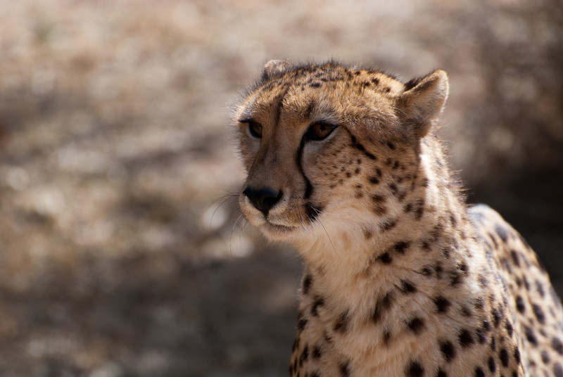 """<span id=""""title"""">Eye on Food</span> <em>Ann van Dyk Cheetah Centre</em> The cheetahs finally got up when the food arrived. They were fun to watch eating, but not nearly as fun as the wild dogs."""