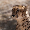 "<span id=""title"">Eye on Food</span> <em>Ann van Dyk Cheetah Centre</em> The cheetahs finally got up when the food arrived. They were fun to watch eating, but not nearly as fun as the wild dogs."