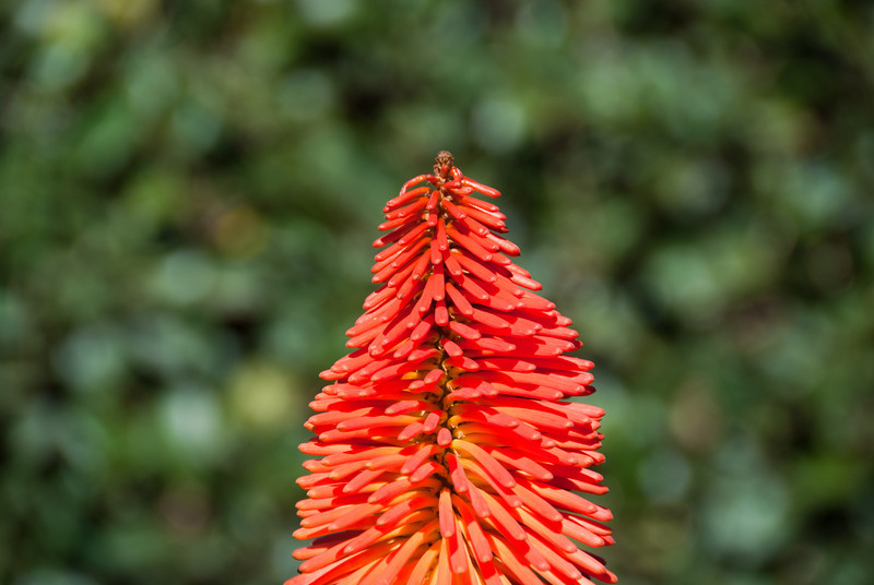 """<span id=""""title"""">Torch Lily</span> <em>Union Buildings, Pretoria</em> The Union Buildings were beautifully landscaped. The building sits on a hill, and there are terraces that lead down to the street level, all with interesting plants, nice grass and ornate walkways. The most vibrant plant on display were the torch lilies. I know what they were, because I've seen them <a href=""""http://www.jawsnap.net/Daily/year3/11272102_Gwwrgk#1117405221_en4oM"""">before</a>."""