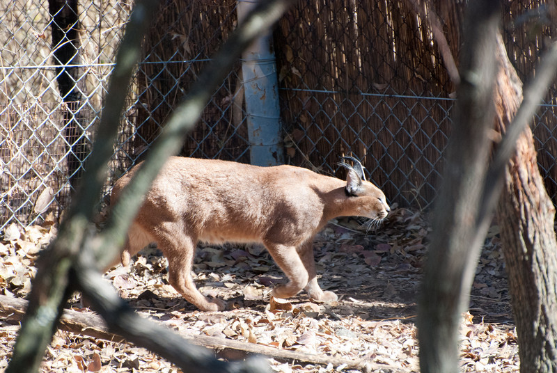 """<span id=""""title"""">Caracal</span> <em>Ann van Dyk Cheetah Centre</em> This tuft-eared cat has amazing jumping abilities. We did not get to see it in action :("""