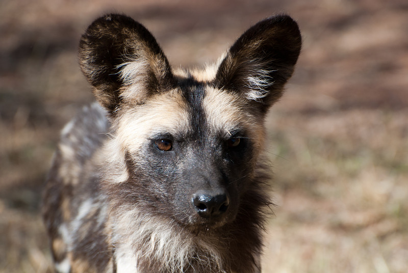 """<span id=""""title"""">African Wild Dog</span> <em>Ann van Dyk Cheetah Centre</em> The African wild dogs were the first stop on our no-fences tour. We drove right into their pen and got to see them eat while our guide told us about them. These splotchy, yet beautiful animals got a really bad rap, and so they need protection today. They were classified as 'vermin' and so people would shoot them on sight. Thanks to that ignorant way of thinking, they are endangered, but they're fascinating."""