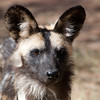 "<span id=""title"">African Wild Dog</span> <em>Ann van Dyk Cheetah Centre</em> The African wild dogs were the first stop on our no-fences tour. We drove right into their pen and got to see them eat while our guide told us about them. These splotchy, yet beautiful animals got a really bad rap, and so they need protection today. They were classified as 'vermin' and so people would shoot them on sight. Thanks to that ignorant way of thinking, they are endangered, but they're fascinating."