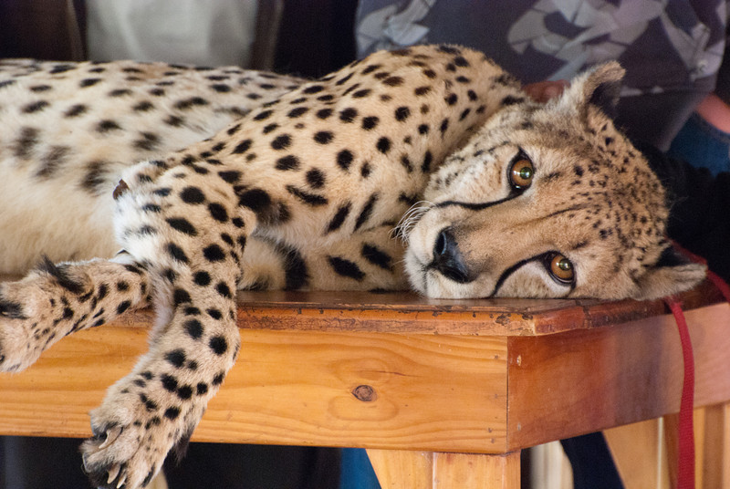 """<span id=""""title"""">Happy Cheetah</span> <em>Ann van Dyk Cheetah Centre</em> Really, who doesn't love to be petted?"""